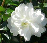 October Magic Bride Camellia Sasanqua