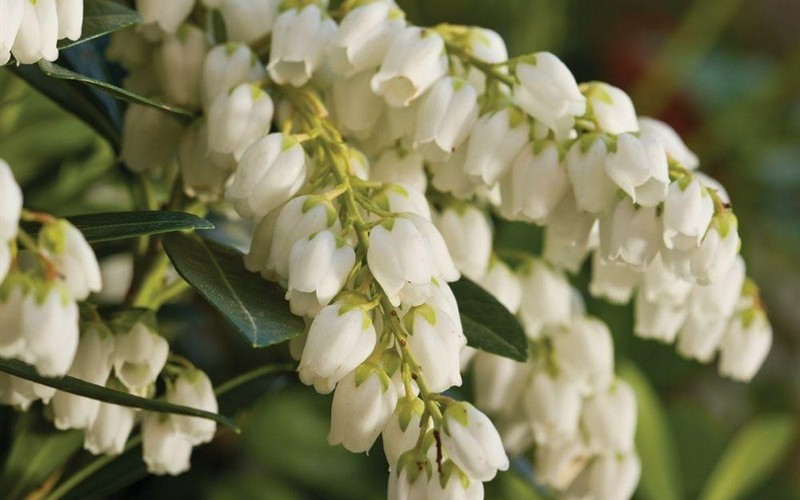Mountain Snow Pieris Japonica