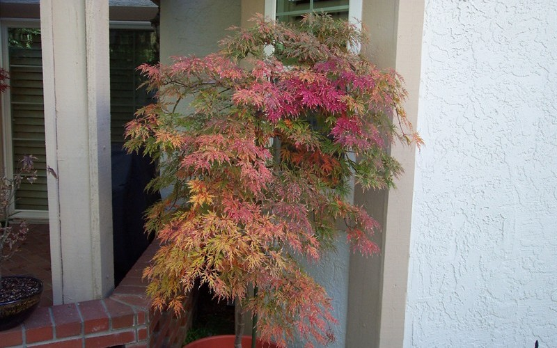 Orangeola Japanese Maple Photo 4