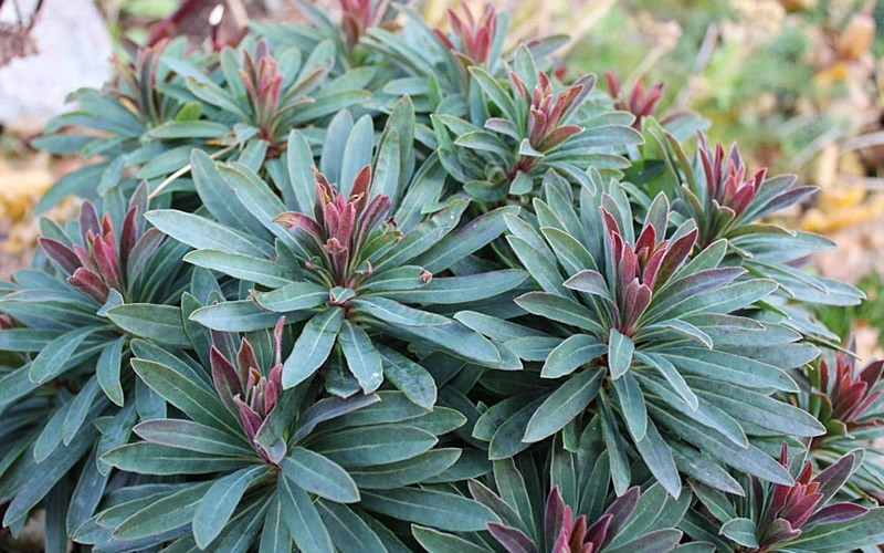 Tiny Tim Spurge - 3 Count Flat of Pint Pots - Perennials for Spring Color | ToGoGarden