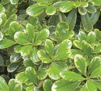 Mojo® Dwarf Variegated Pittosporum