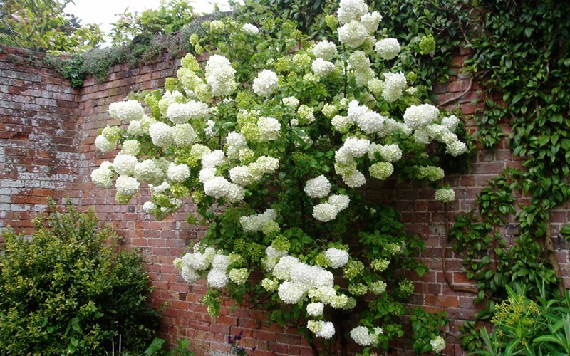 Chinese Snowball Viburnum Photo 4