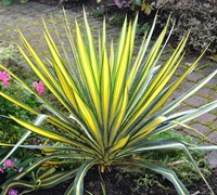 Shop Color Guard Yucca - Yucca filamentosa 'Color Guard' - 1 Gallon
