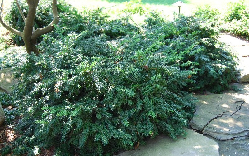 Yewtopia Plum Yew - 2 Gallon - Southern Living Plant Collection | ToGoGarden