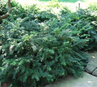 Shop Yewtopia Plum Yew - 3 Gallon