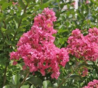 Hopi Crape Myrtle - Lagerstroemia indica x fauriei 'Hopi'