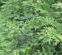 Shop Thuja x 'Steeplechase' - 1 Gallon