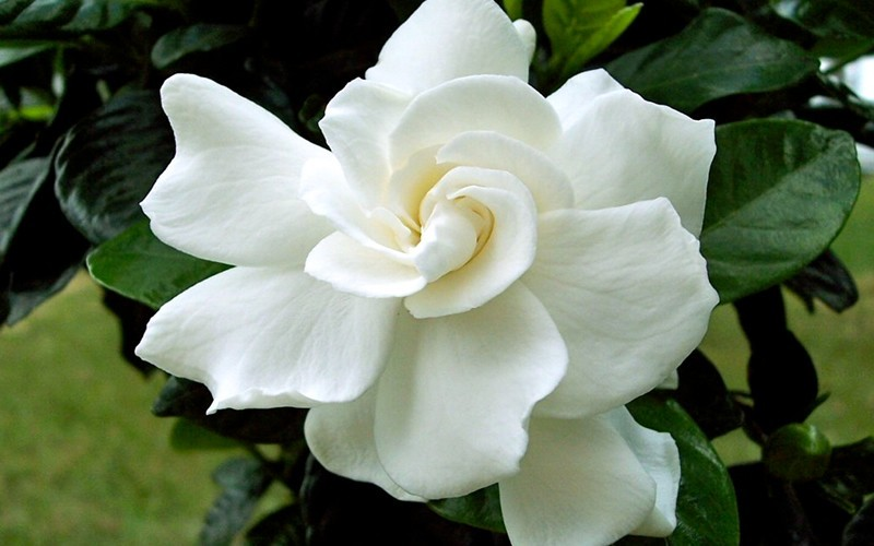 August Beauty Gardenia - 3 Gallon - Fragrant & Scented Shrubs | ToGoGarden
