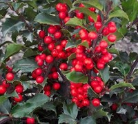 China Girl Holly - Ilex x merserveae 'China Girl'