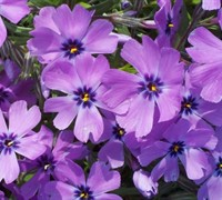 Shop Purple Beauty Creeping Phlox - 1 Gallon