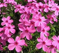 Shop Drummond's Pink Creeping Phlox - 1 Gallon