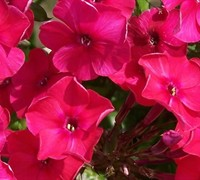 Cherry Red Peacock Garden Phlox