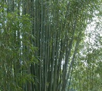 Red Margin Bamboo