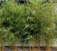 Spectabilis Green Groove Bamboo