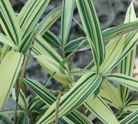 White Striped Dwarf Bamboo
