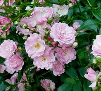 The Fairy Climbing Polyantha Rose