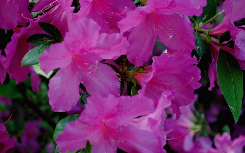 Formosa Southern Indica Azalea - 3 Gallon - Hedge or Screen Shrubs | ToGoGarden