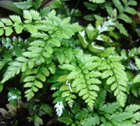 Shop Korean Rock Fern - 3 Count Flat of Pint Pots