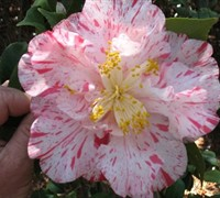 Rebel Yell Camellia Japonica