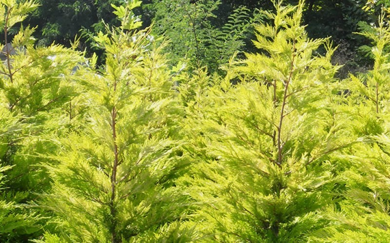 Wyndam Golden Leyland Cypress - Cupressocyparis leylandii 'Golden'