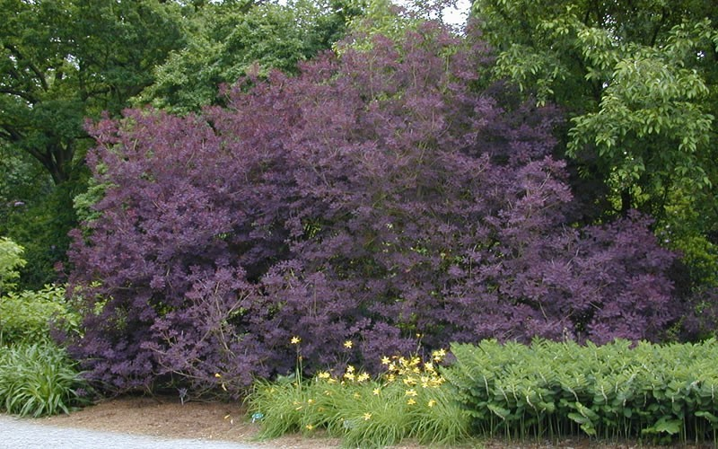 buy purple smoke tree cotinus coggygria 39 royal purple. Black Bedroom Furniture Sets. Home Design Ideas