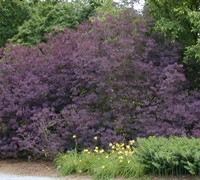 Purple Smoke Tree - Cotinus coggygria 'Royal Purple'