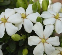 Shop Heaven Scent Gardenia - 1 Gallon