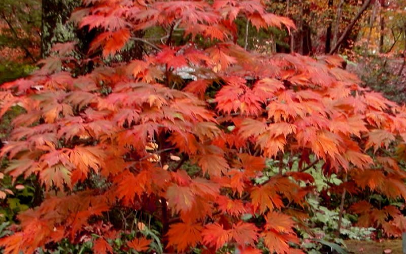 Emmett's Pumpkin Full Moon Japanese Maple Photo 2