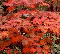Emmett's Pumpkin Full Moon Japanese Maple
