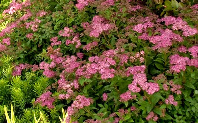 Little Bonnie Dwarf Spiraea - 2.5 Quart - Flowering Shrubs | ToGoGarden