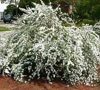 Shop Reeves Bridal Wreath Spirea - Spirea cantoniensis 'Reeves' - 3 Gallon
