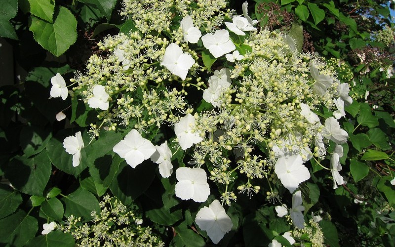 buy climbing hydrangea petiolaris 1 gallon vines. Black Bedroom Furniture Sets. Home Design Ideas