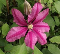 Liberation Clematis