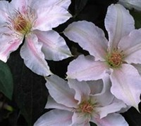 Chantilly Clematis