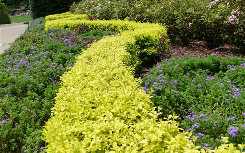 Sunshine Ligustrum - 2.5 Quart - Deer Resistant Shrubs | ToGoGarden