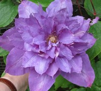 Vyvyan Pennell Clematis