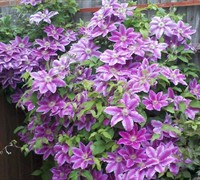 Dr Ruppel Clematis