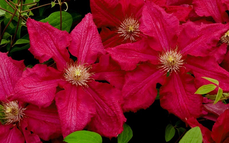 buy ernest markham clematis 1 gallon trellis clematis all buy plants online. Black Bedroom Furniture Sets. Home Design Ideas