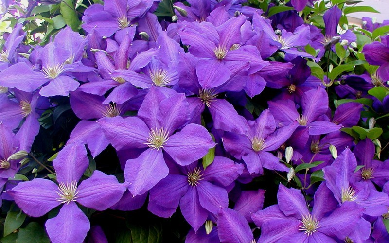 buy jackmanii clematis 1 gallon trellis clematis all buy plants online. Black Bedroom Furniture Sets. Home Design Ideas