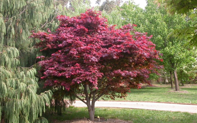 Buy Red Select Japanese Maple 1 Gallon Japanese Maples