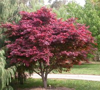 Hefner's Red Select Japanese Maple