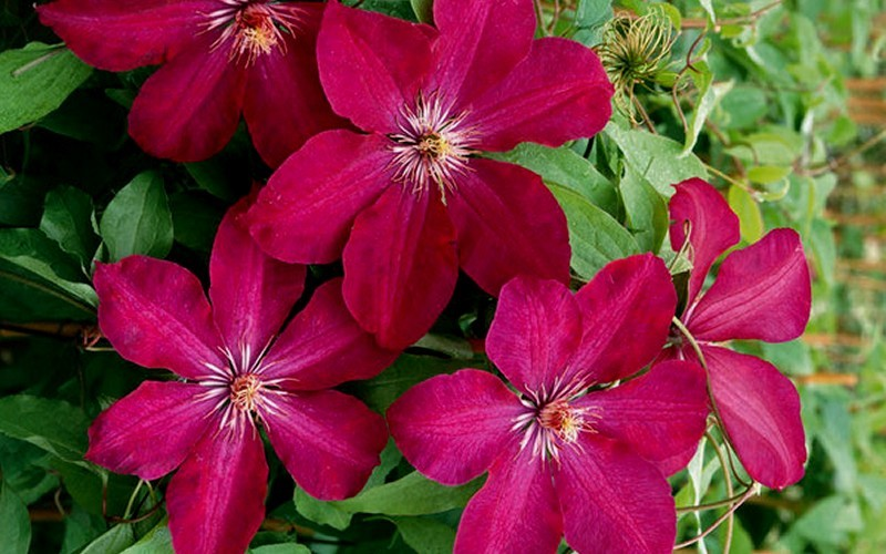 buy rouge cardinal clematis 1 gallon trellis clematis all buy plants online. Black Bedroom Furniture Sets. Home Design Ideas