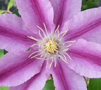 Sugar Candy Clematis