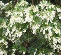 Mountain Snow Pieris