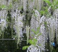 Snow Showers Wisteria