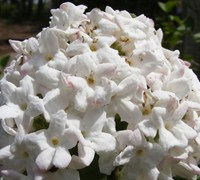 Fragrant Snowball Viburnum