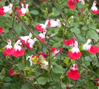 Shop Hot Lips Salvia - 1 Gallon