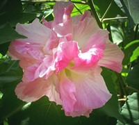 Confederate Rose Hibiscus