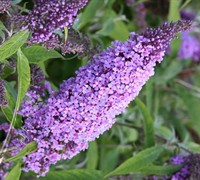 Buzz Lavender Dwarf Butterfly Bush