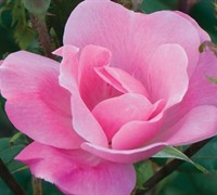 Shop Pink Knock Out Rose - 1 Gallon